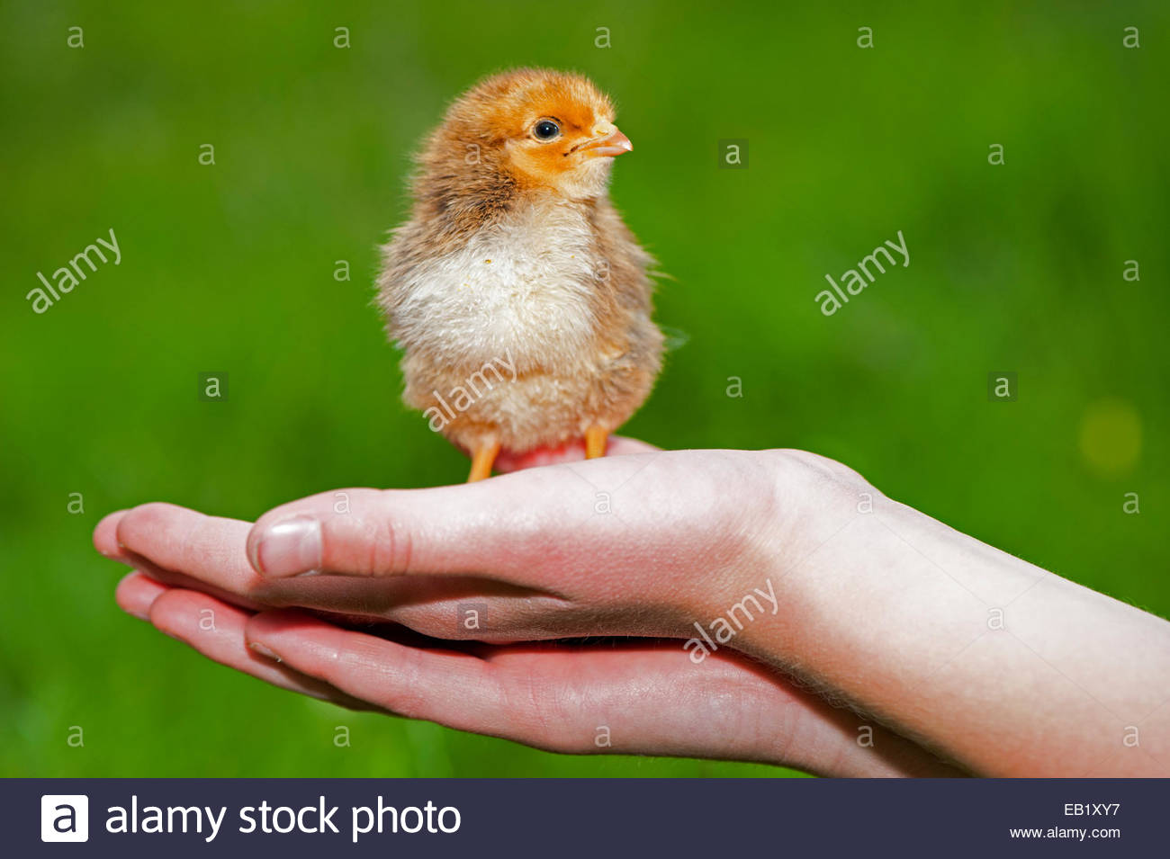 giorno-vecchio-pulcino-di-pollame-tenuto-in-una-mano-per-i-bambini-eb1xy7